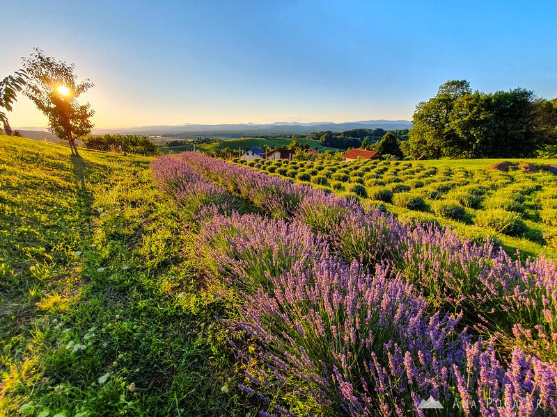 Lavender fields near Kostanjevica