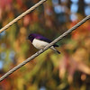 Violet-backed Starling (male)<br> Nominate subspecies<br> <i>Cinnyricinclus leucogaster leucogaster</i><br> Family <i>Sturnidae</i><br> <br> Added to Life List: 1 February 2016