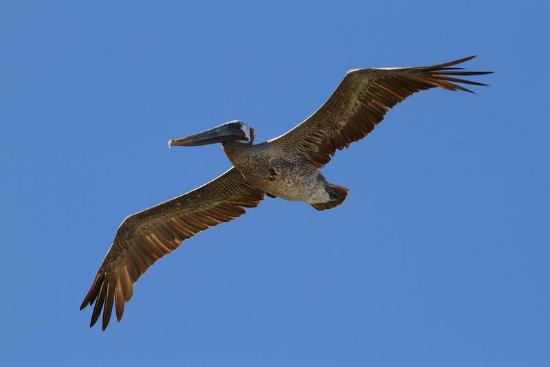 "Brown Pelican<br> ""Atlantic"" subspecies<br> <i>Pelecanus occidentalis carolinensis</i><br> Family <i>Pelecanidae</i><br> <br> Added to Life List: 28 February 2009"