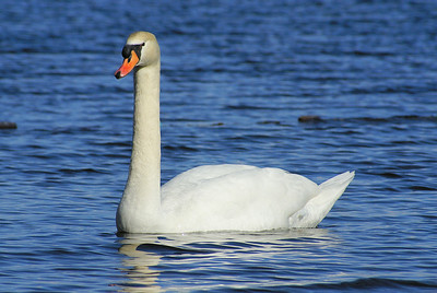 Mute Swan Cygnus olor Family Anatidae  Added to Life List: 24 November 2007