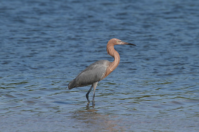 Reddish Egret Nominate subspecies Egretta rufescens rufescens Family Ardeidae  Added to Life List: 18 October 2016