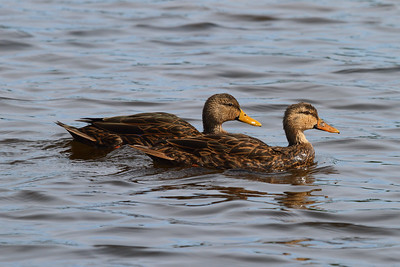 Mottled Duck (male & female) Nominate subspecies Anas fulvigula fulvigula Family Anatidae  Added to Life List: 26 October 2016