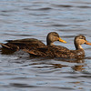 Mottled Duck (male & female)<br> Nominate subspecies<br> <i>Anas fulvigula fulvigula</i><br> Family <i>Anatidae</i><br> <br> Added to Life List: 26 October 2016