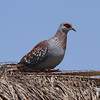 Speckled Pigeon<br> Nominate subspecies<br> <i>Columba guinea guinea</i><br> Family <i>Columbidae</i><br> <br> Added to Life List: 2 February 2016