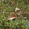 "Black-bellied Whistling Duck<br> ""Northern"" subspecies<br> <i>Dendrocygna autumnalis fulgens</i><br> Family <i>Anatidae</i><br> <br> Added to Life List: 21 September 2016"