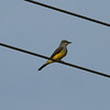 Western Kingbird<br> <i>Tyrannus verticalis</i><br> Family <i>Tyrannidae</i><br> <br> Added to Life List: 29 November 2016