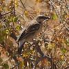 Donaldson-Smith's Sparrow-weaver<br> <i>Plocepasser donaldsoni</i><br> Family <i>Passeridae</i><br> <br> Added to Life List: 4 February 2016