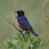 Hildebrandt's Starling<br> <i>Lamprotornis hildebrandti</i><br> Family <i>Sturnidae</i><br> <br> Added to Life List: 8 February 2016
