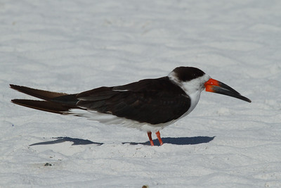 Black Skimmer Nominate subspecies Rynchops niger niger Family Laridae  Added to Life List: 2 March 2009