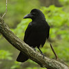 Large-billed Crow<br> <i>mandschuricus</i> subspecies<br> <i>Corvus macrorhynchos mandschuricus</i><br> Family <i>Corvidae</i><br> <br> Added to Life List: 20 February 2013