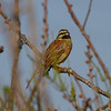 Cirl Bunting (male)<br> <i>Emberiza cirlus</i><br> Family <i>Emberizidae</i><br> <br> Added to Life List: 14 November 2015