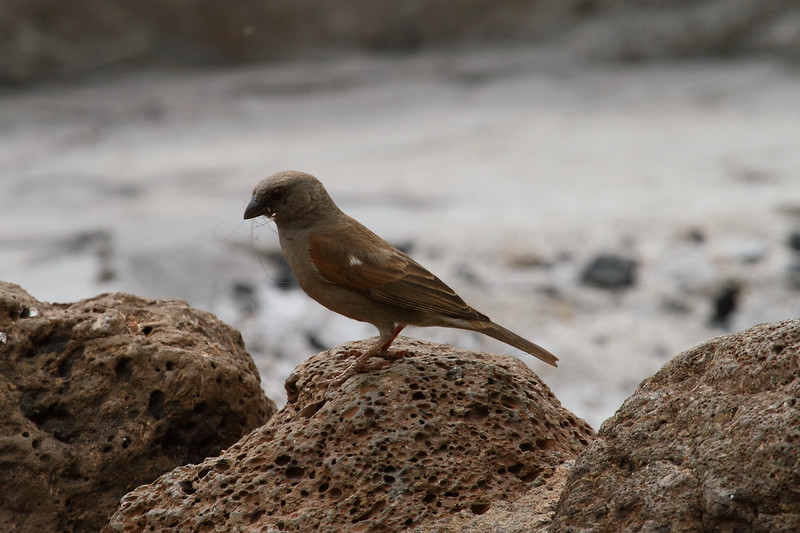 Swahili Sparrow<br> <i>Passer suahelicus</i><br> Family <i>Passeridae</i><br> <br> Added to Life List: 8 February 2016