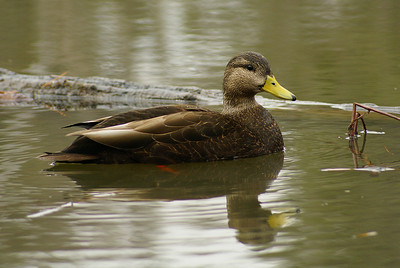 American Black Duck (male Anas rubripes Family Anatidae  Officially added to Life List: October 2006