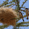 Black-capped Social Weaver<br> <i>Pseudonigrita cabanisi</i><br> Family <i>Passeridae</i><br> <br> Added to Life List: 4 February 2016