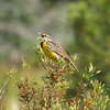 "Eastern Meadowlark<br> ""Southern"" subspecies<br> <i>Sturnella magna argutula</i><br> Family <i>Icteridae</i><br> <br> Added to Life List: 5 April 2007"