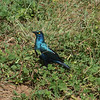 "Greater Blue-eared Starling / Kuzi Macho-njano<br> ""Greater"" subspecies<br> <i>Lamprotornis chalybaeus sycobius</i><br> Family <i>Sturnidae</i><br> <br> Added to Life List: 2 February 2016"