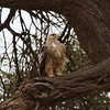 Tawny Eagle<br> Nominate subspecies<br> <i>Aquila rapax rapax</i><br> Family <i>Accipitridae</i><br> <br> Added to Life List: 4 February 2016