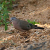 Emerald-spotted Wood Dove<br> <i>Turtur chalcospilos</i><br> Family <i>Columbidae</i><br> <br> Added to Life List: 1 February 2016