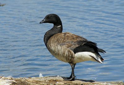 "Brant Goose ""Light-bellied"" subspecies Branta bernicla hrota Family Anatidae  Added to Life List: 21 May 2009"
