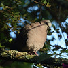 Red-eyed Dove<br> <i>Streptopelia semitorquata</i><br> Family <i>Columbidae</i><br> <br> Added to Life List: 2 February 2016