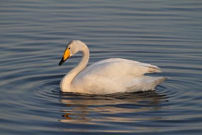 Whooper Swan Cygnus cygnus Family Anatidae  Added to Life List: 30 November 2013