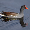 """Common Gallinule<br> """"North American"""" subspecies<br> <i>Gallinula galeata cachinnans</i><br> Family <i>Rallidae</i><br> <br> Added to Life List: 21 August 2008"""