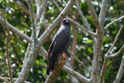 "Snail Kite ""Everglade"" subspecies Rostrhamus sociabilis plumbeus Family Accipitridae  Added to Life List: 9 November 2016"