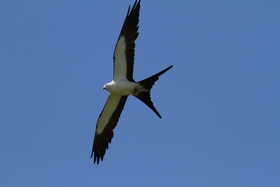 Swallow-tailed Kite Nominate subspecies Elanoides forficatus forficatus Family Accipitridae  Added to Life List: 2 May 2010