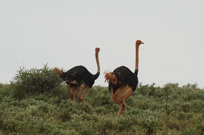 "Common Ostrich ""Maasai"" subspecies Struthio camelus massaicus Family Struthionidae  Added to Life List: 6 February 2016"