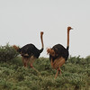 """Common Ostrich<br> """"Maasai"""" subspecies<br> <i>Struthio camelus massaicus</i><br> Family <i>Struthionidae</i><br> <br> Added to Life List: 6 February 2016"""