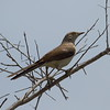 Tropical Mockingbird<br> <i>leucophaeus</i> subspecies<br> <i>Mimus gilvus leucophaeus</i><br> Family <i>Mimidae</i><br> <br> Added to Life List: 21 June 2017