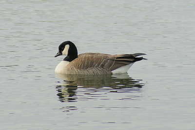 "Cackling Goose  ""Richardson's"" subspecies Branta hutchinsii hutchinsii  Family Anatidae   Added to Life List: 2 November 2008"