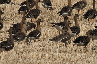 Lesser White-fronted Goose Anser erythropus Family Anatidae  Added to Life List: 8 December 2013