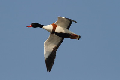 Common Shelduck Tadorna tadorna Family Anatidae  Added to Life List: 13 April 2013