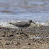 Wandering Tatter<br> <i>Tringa incana</i><br> Family <i>Scolopacidae</i><br> <br> Added to Life List: 7 March 2015
