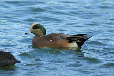 American Wigeon (male) Anas americana Family Anatidae  Added to Life List: 15 September 2007