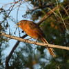 Rufous Chatterer<br> Nominate subspecies<br> <i>Turdoides rubiginosa rubiginosa</i><br> Family <i>Leiothrichidae</i><br> <br> Added to Life List: 3 February 2016