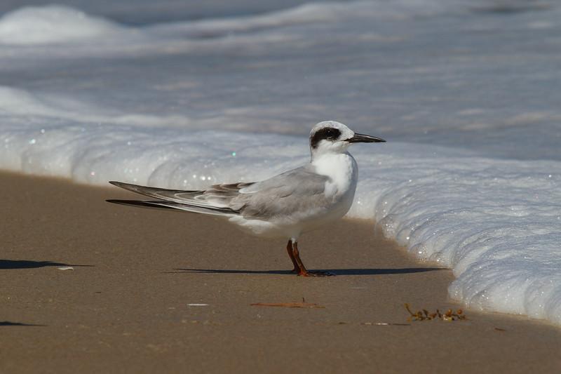 Forster's Tern<br> <i>Sterna forsteri</i><br> Family <i>Laridae</i><br> <br> Added to Life List: 28 February 2009