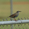 Common Starling<br> <i>Sturnus vulgaris</i><br> Family <i>Sturnidae</i><br> <br> Officially added to Life List: October 2006