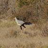 Secretarybird<br> <i>Sagittarius serpentarius</i><br> Family <i>Sagittariidae</i><br> <br> Added to Life List: 4 February 2016
