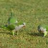Monk Parakeet<br> <i>Myiopsitta monachus</i><br> Family <i>Psittacidae</i><br> <br> Added to Life List: 14 July 2012
