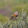 Cretzschmar's Bunting (male)<br> <i>Emberiza caesia</i><br> Family <i>Emberizidae</i><br> <br> Added to Life List: 9 April 2016