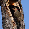 Northern Flicker (female)<br> Nominate subspecies<br> <i>Colaptes auratus auratus</i><br> Family <i>Picidae</i><br> <br> Officially added to Life List: October 2006