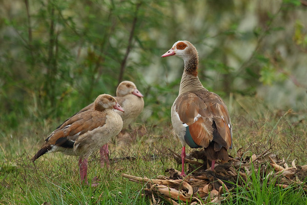 Egyptian Goose Alopochen aegyptiaca Family Anatidae  Added to Life List: 3 February 2016