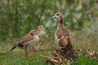 Egyptian Goose Alopochen aegyptiaca Family Anatidae  Added to Life List: 3 February 2016