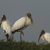 Wood Stork<br> <i>Mycteria americana</i><br> Family <i>Ciconiidae</i><br> <br> Added to Life List: 2 March 2009
