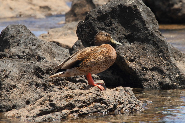 Koloa (Hawaiian Duck) Anas wyvilliana Family Anatidae  Added to Life List: 22 March 2015