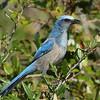 Florida Scrub Jay<br> <i>Aphelocoma coerulescens</i><br> Family <i>Corvidae</i><br> <br> Added to Life List: 14 September 2016