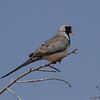 Namaqua Dove (male)<br> Nominate subspecies<br> <i>Oena capensis capensis</i><br> Family <i>Columbidae</i><br> <br> Added to Life List: 3 February 2016