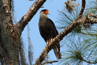 Northern Crested Caracara Caracara cheriway Family Falconidae  Added to Life List: 10 November 2016
